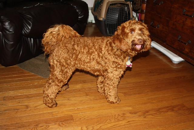 Labradoodle Breeders, Our Retired Breeders  Mini and Medium