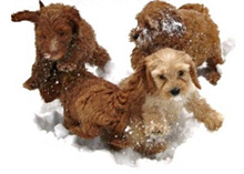 Upcoming Labradoodle Puppy Litters