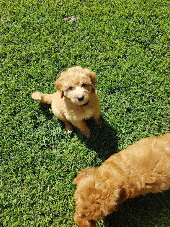 Labradoodle Puppies  Mini and Medium Australian Labradoodle