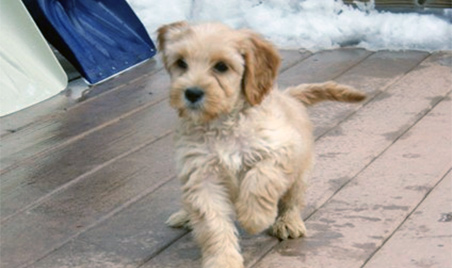 Labradoodle Puppies by Southern Maine Labradoodles